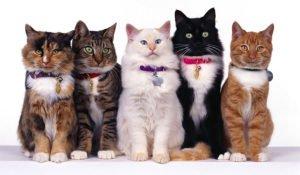 cat-breed-petvizyon
