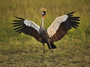 african-crowned-crane-wallpaper-1024x768-0927