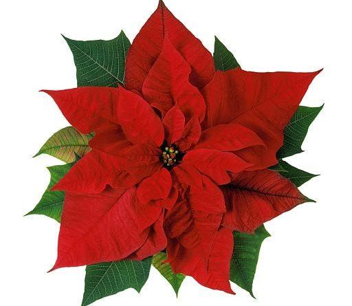Цветок рождественский