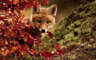 Лиса и осень