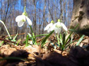 Весна подснежник